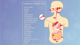 Project preview for Digestive System - COMPLETE | Coding for Kids ...