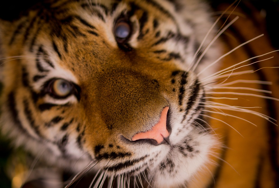 background scene - tiger-498543_960_720