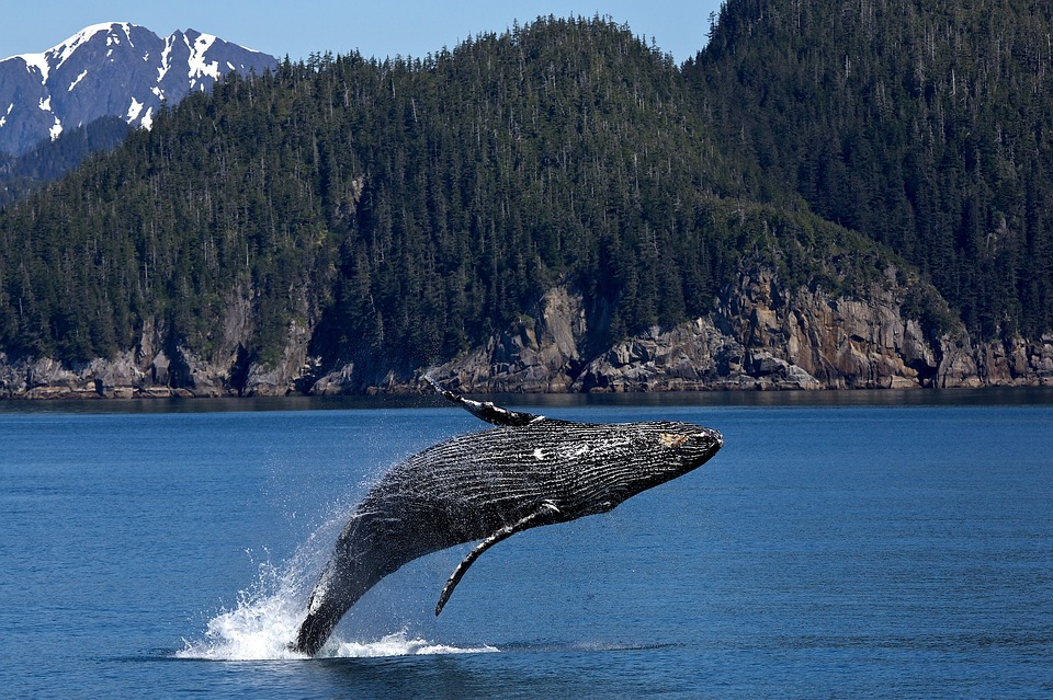 background scene - humpback-whale-1984341_960_720